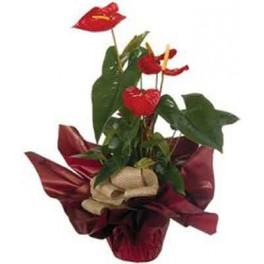 http://floristeriajerico.es/33-thickbox_leometr/anthurium-con-base-de-ceramica.jpg