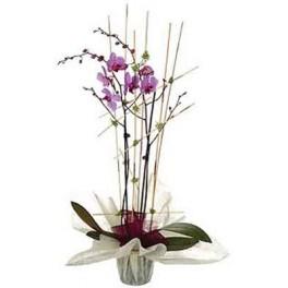 http://floristeriajerico.es/76-thickbox_leometr/orquidea-phalaenosis.jpg
